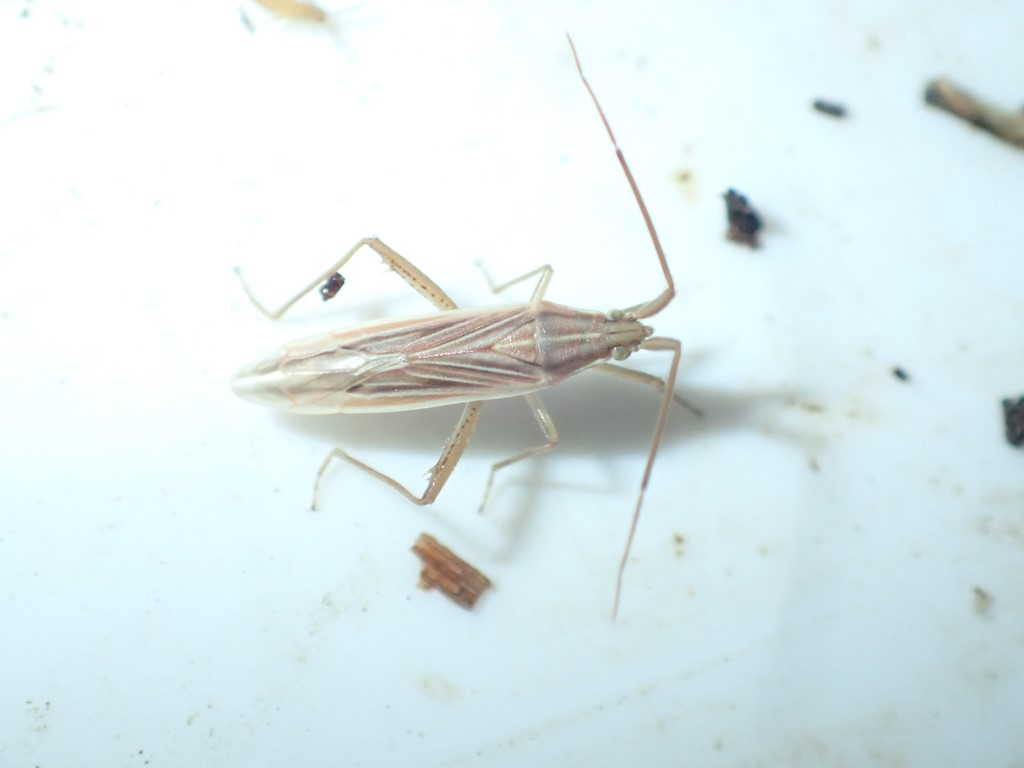 Tornet Græstæge (Stenodema calcarata)