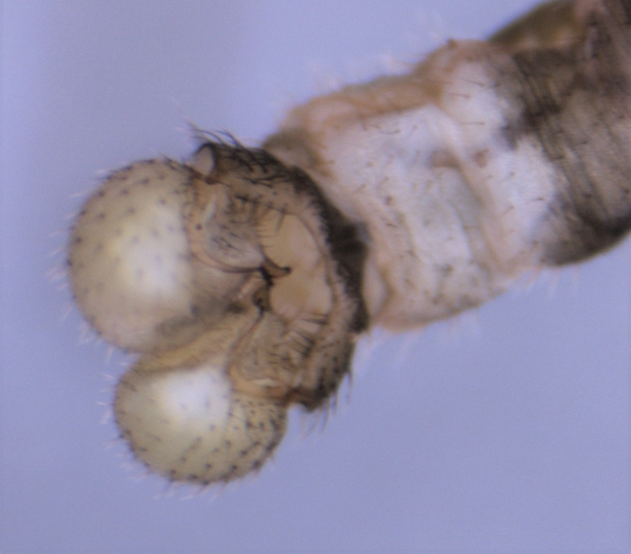 Dicranomyia chorea