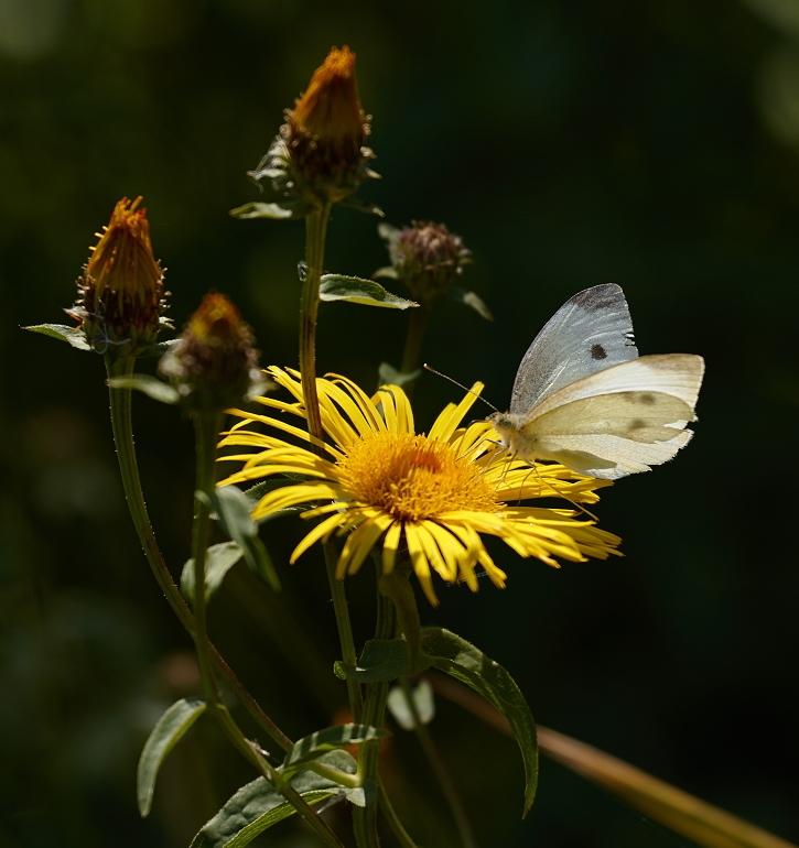 Foto/billede af Pile-Alant (Inula salicina)