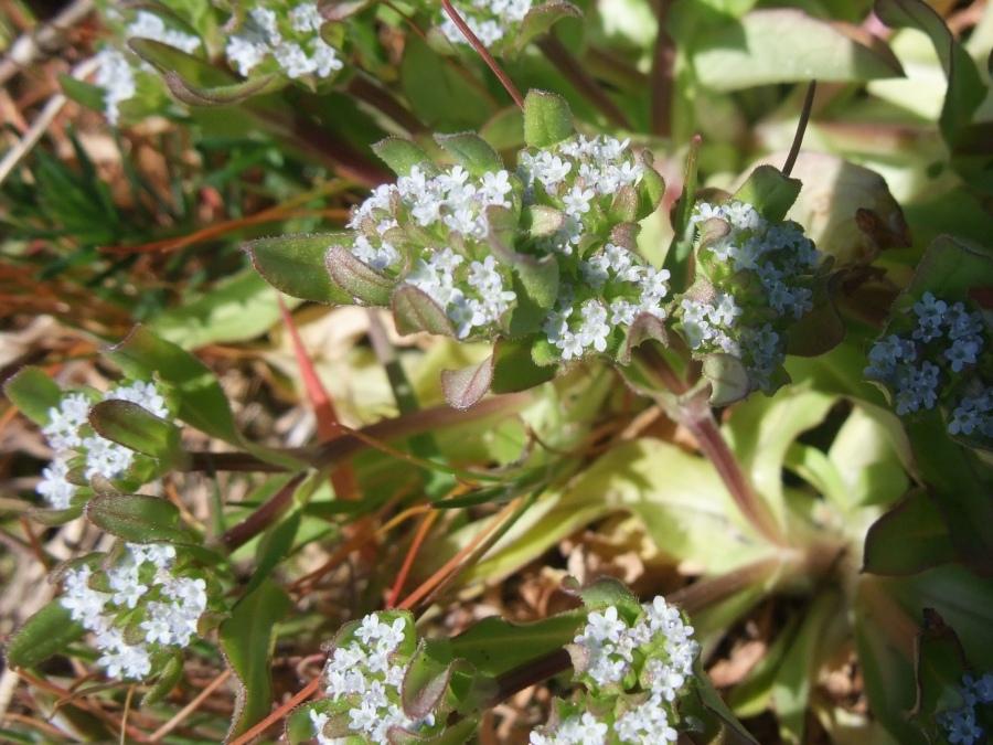 Tandfri Vårsalat (Valerianella locusta)