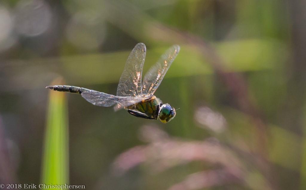 Plettet Smaragdlibel (Somatochlora flavomaculata)