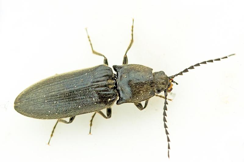 Foto/billede af Sort Busksmælder (Hemicrepidius niger)