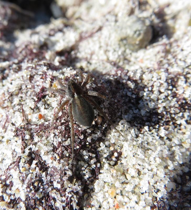 Foto/billede af Strandengsjæger (Pardosa agrestis)