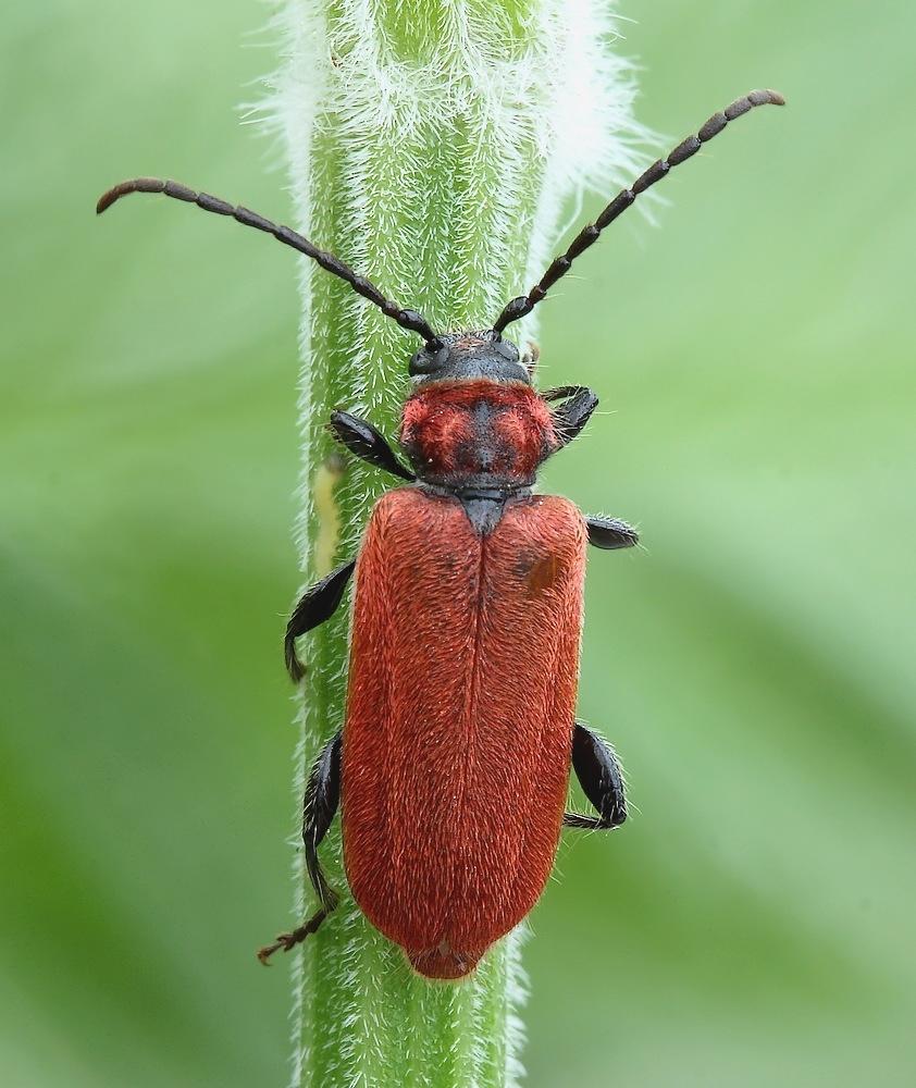 Foto/billede af Rød Skivebuk (Pyrrhidium sanguineum)