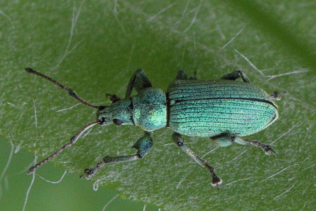 Foto/billede af Phyllobius maculicornis (Phyllobius maculicornis)