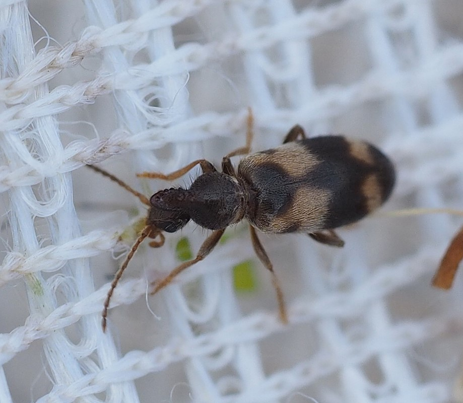 Notoxus trifasciatus