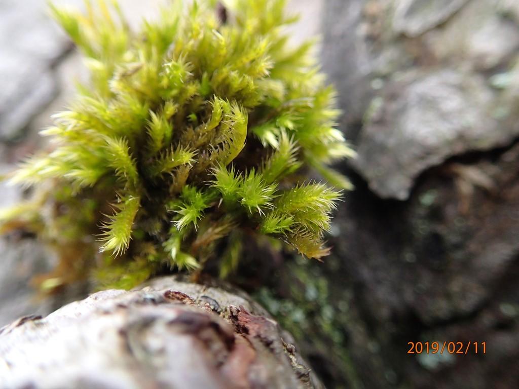 Foto/billede af Krybende Silkemos (Homalothecium sericeum)