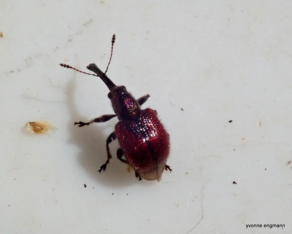 Neocoenorrhinus aequatus (Neocoenorrhinus aequatus)