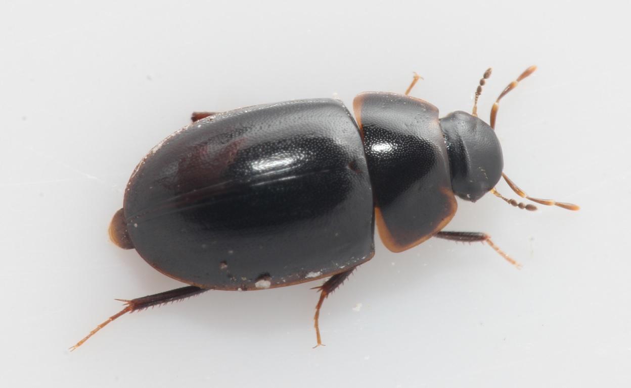 Cymbiodyta marginella
