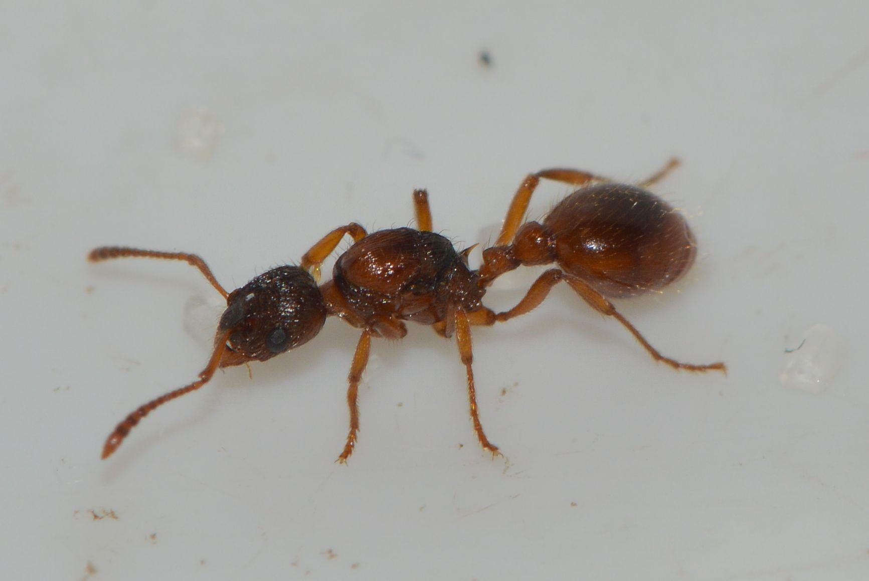 Korttornet Stikmyre (Myrmica rubra)