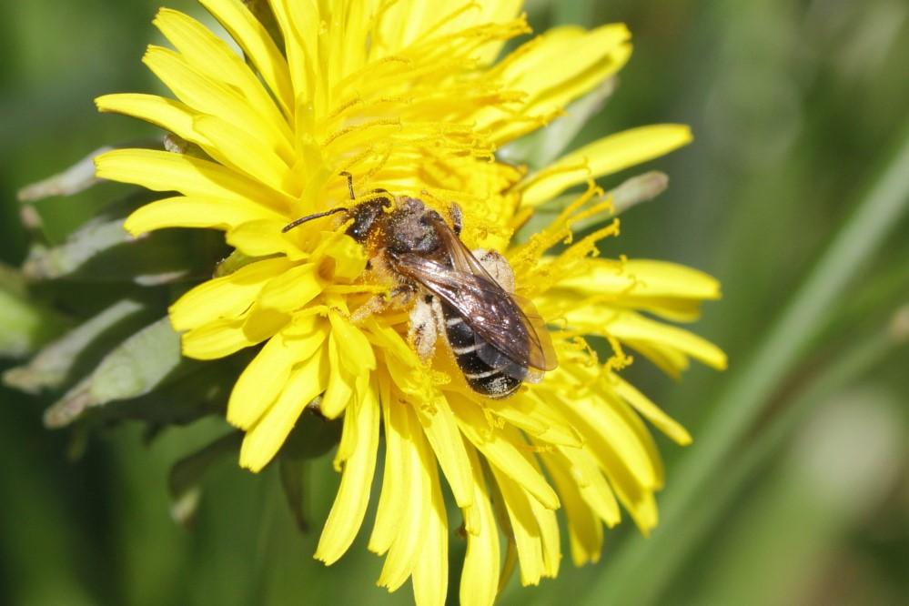 Foto/billede af Skovvejbi (Halictus rubicundus)