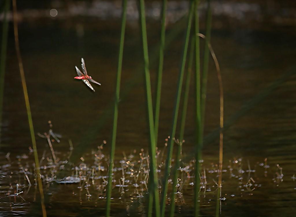 Foto/billede af Flammelibel (Crocothemis erythraea)