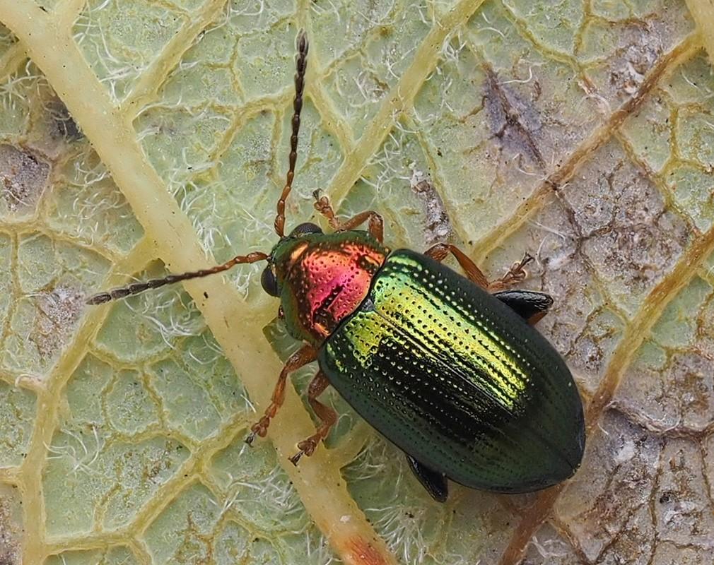 Crepidodera aurata (Crepidodera aurata)