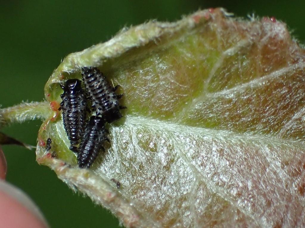 Poppelbladbille (Chrysomela populi)