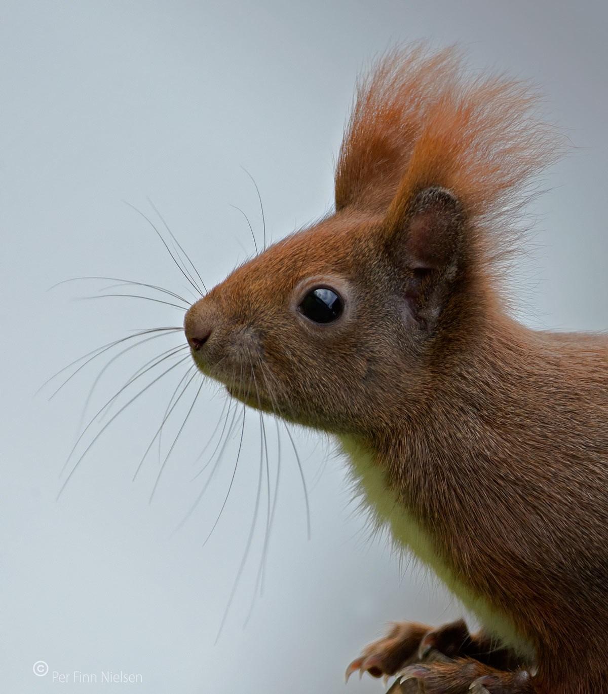 Foto/billede af Egern (Sciurus vulgaris)