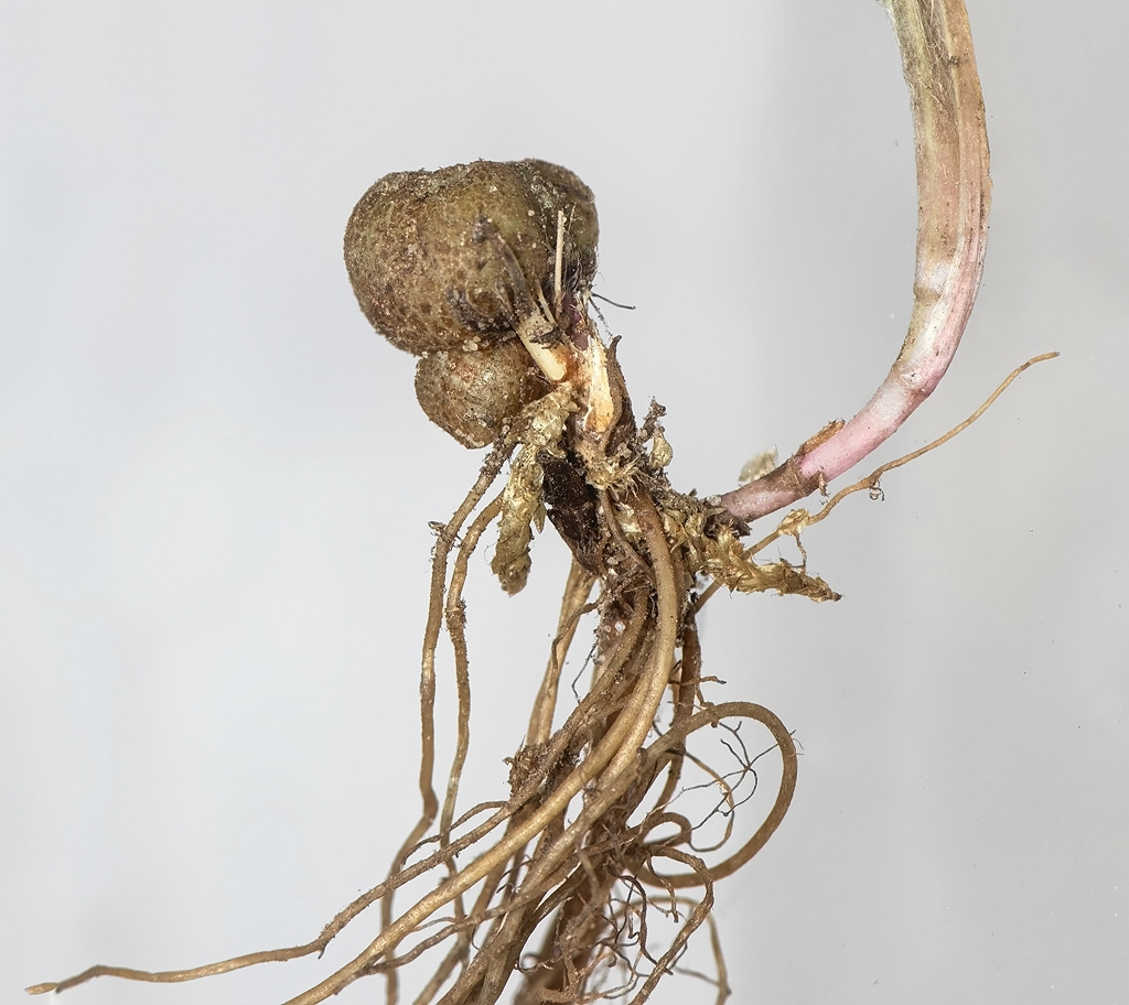 Rhopalomyia millefolii