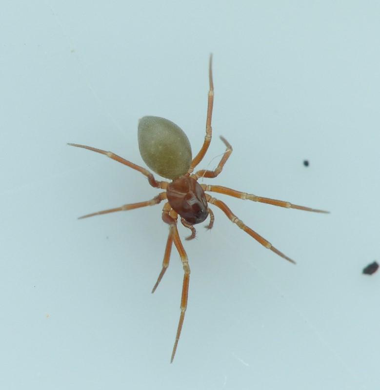 Foto/billede af Thyreostenius Biovatus (Thyreosthenius biovatus)
