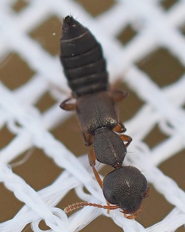 Rugilus erichsoni (Rugilus erichsoni)