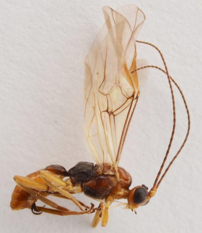 Pygostolus sticticus (Pygostolus sticticus)