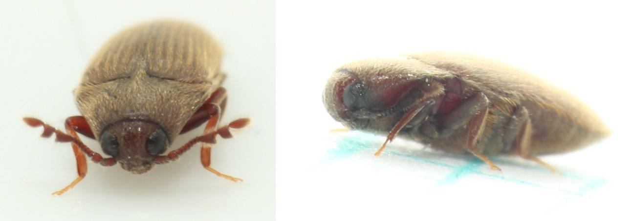 Foto/billede af Trixagus dermestoides (Trixagus dermestoides)