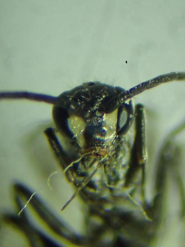 Foto/billede af Auplopus carbonarius (Auplopus carbonarius)