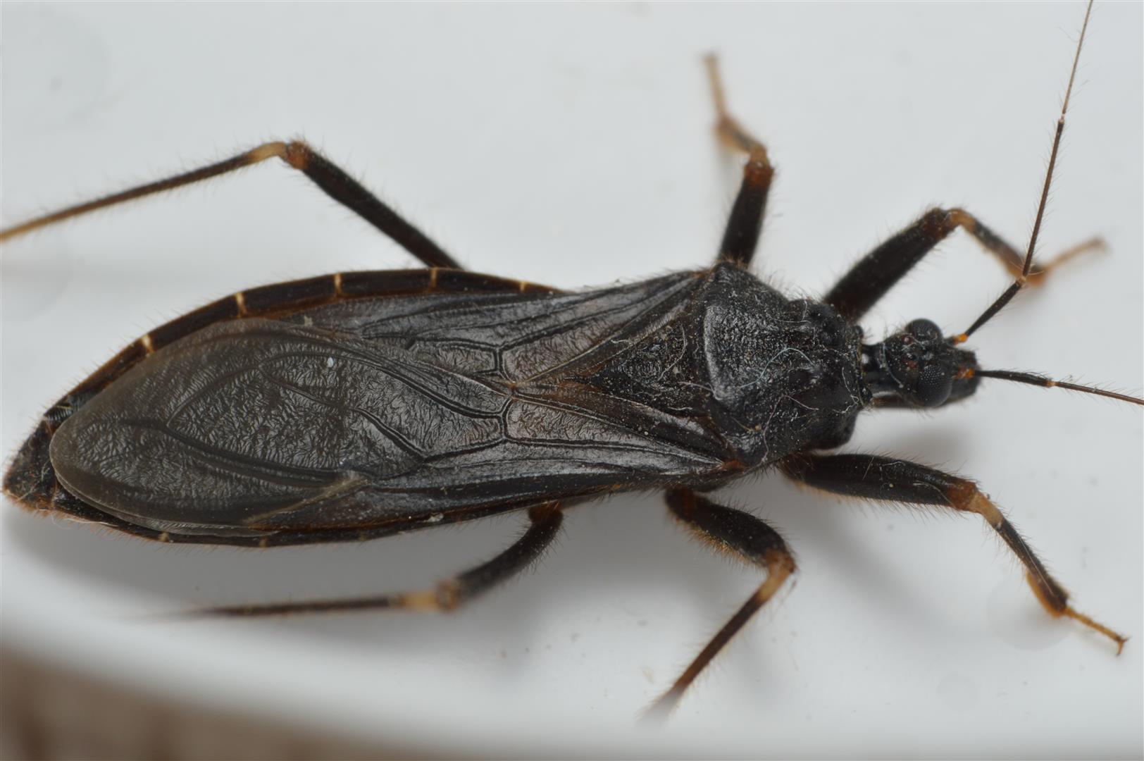 Skarntæge (Reduvius personatus)