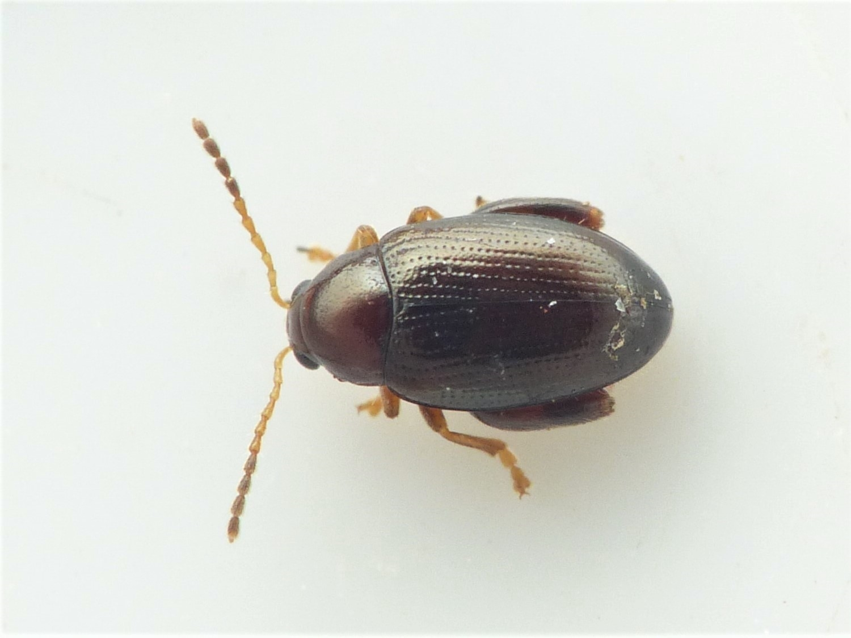 Psylliodes picina (Psylliodes picina)
