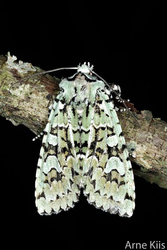 Foto/billede af Aprilugle (Griposia aprilina)