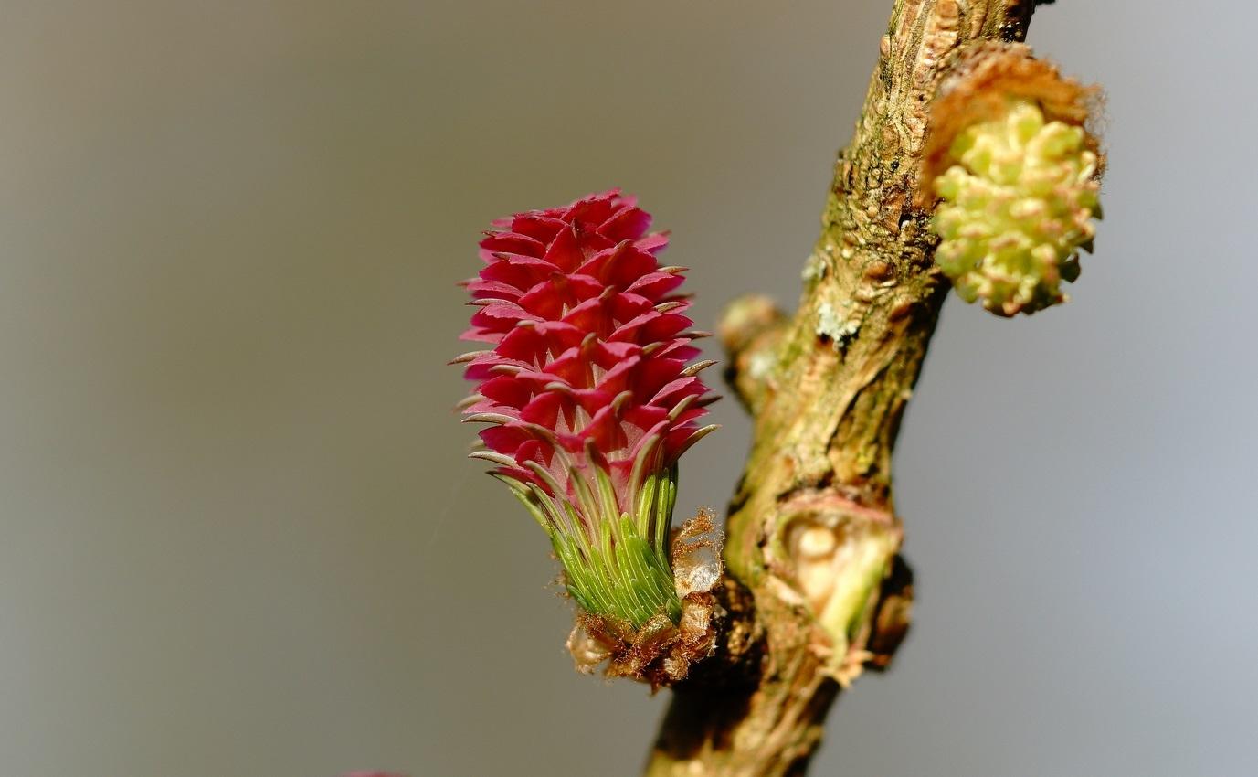 Foto/billede af Europæisk Lærk (Larix decidua ssp. decidua)