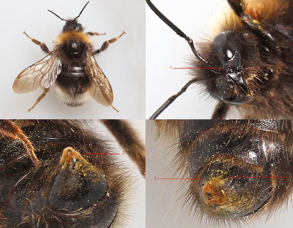 Foto/billede af Skovsnyltehumle (Bombus sylvestris)