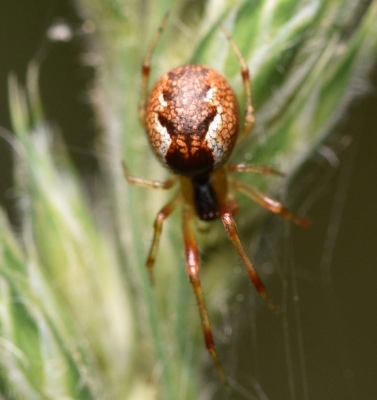 Foto/billede af Anelosimus vittatus (Anelosimus vittatus)