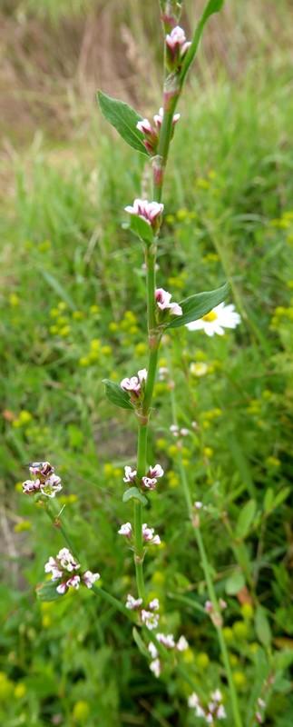Foto/billede af Almindelig Vej-Pileurt (Polygonum aviculare ssp. aviculare)