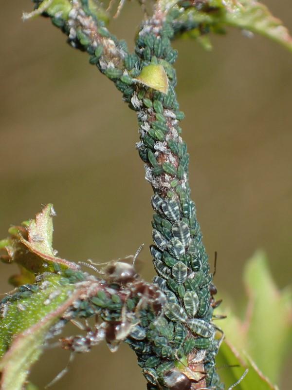 Birkemaskebladlus