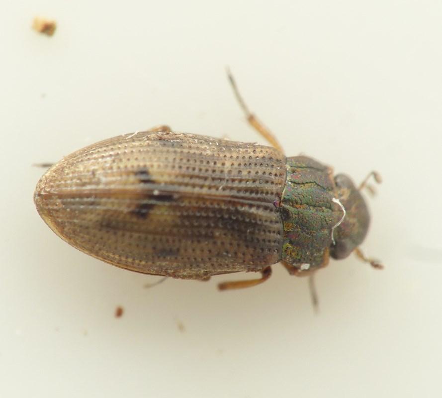 Helophorus brevipalpis