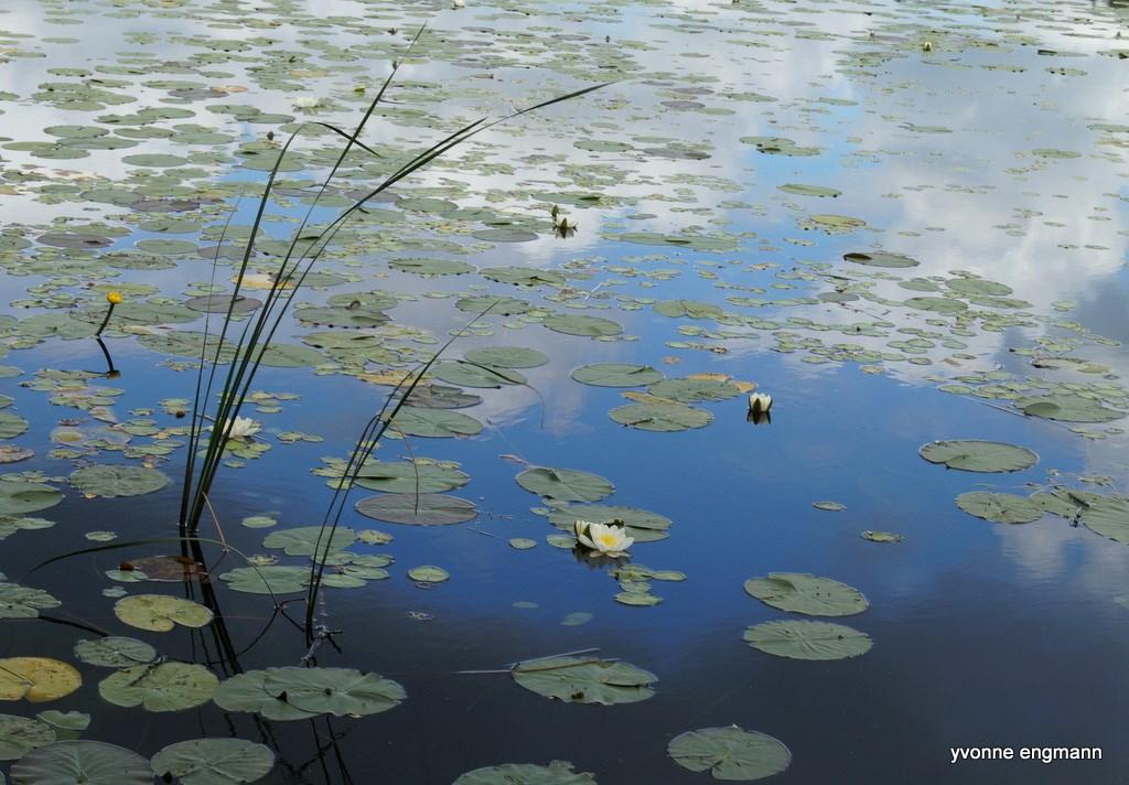 Foto/billede af Hvid n�kkerose (Nymphaea alba)