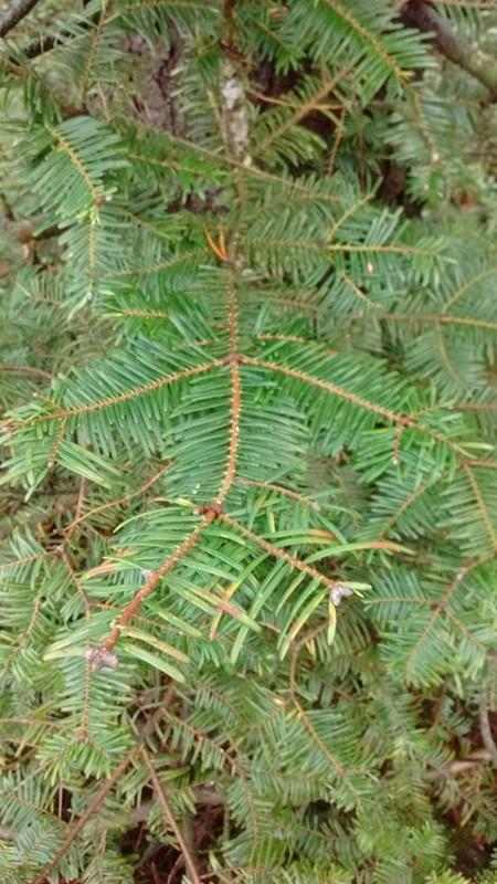 Foto/billede af Kæmpegran (Abies grandis)