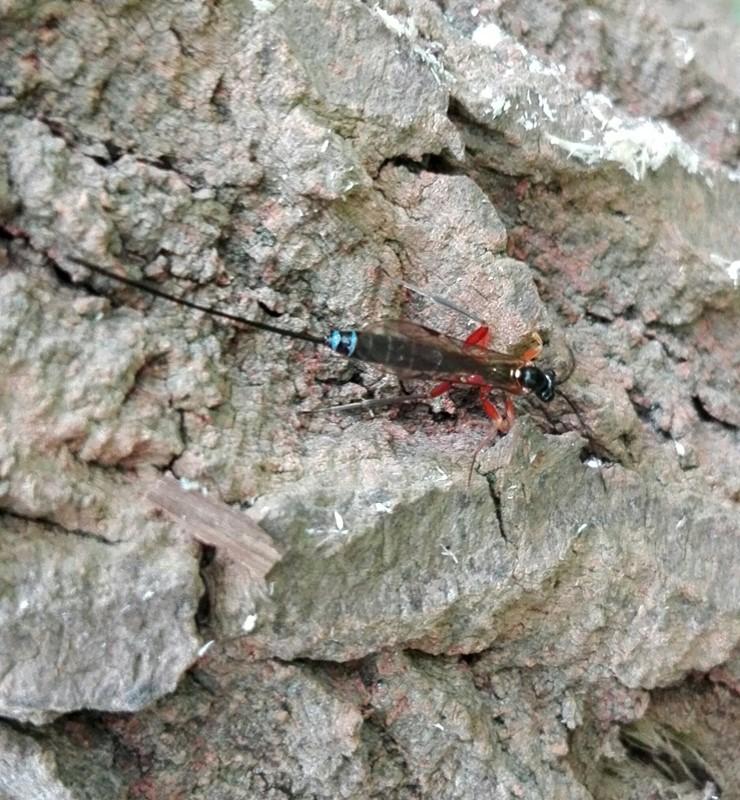 Perithous albicinctus