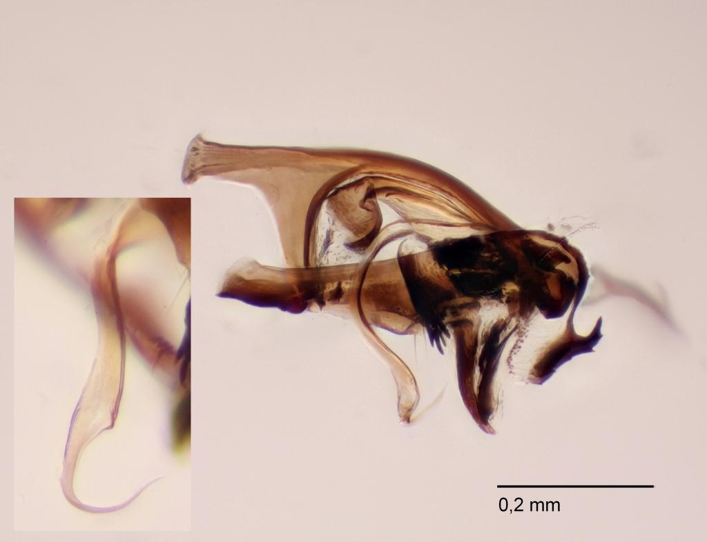 Anthomyza gracilis (Anthomyza gracilis)