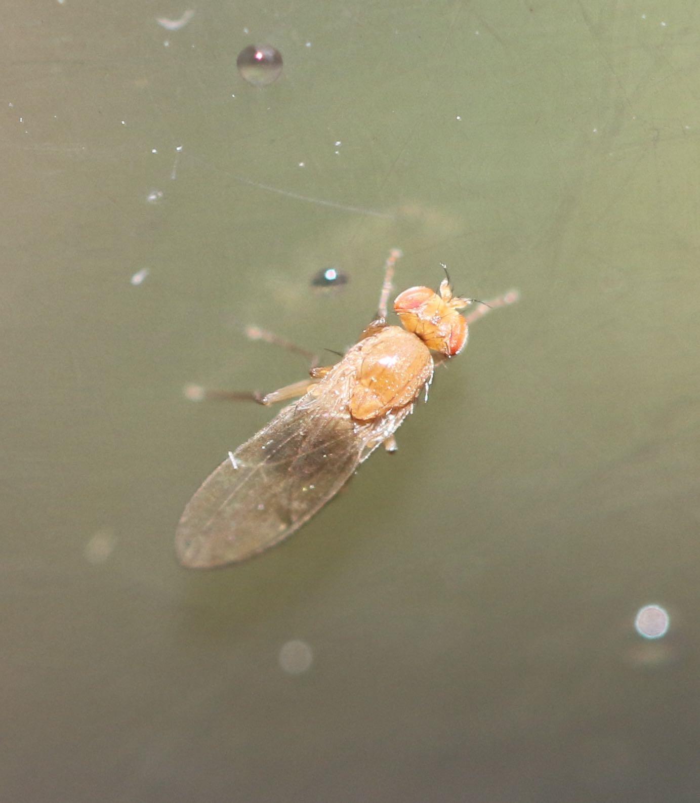 Foto/billede af Bananflue ubest. (Drosophilidae indet.)