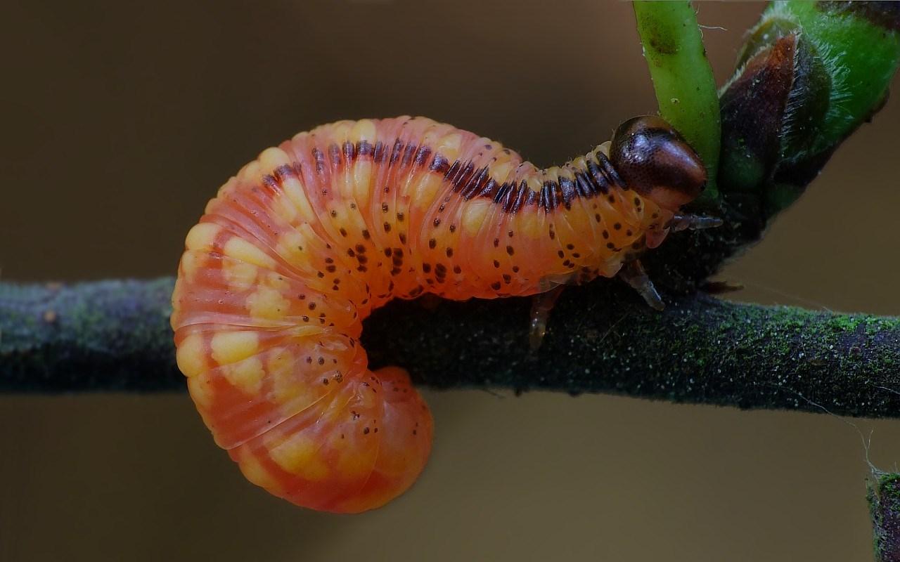 Pristiphora cincta