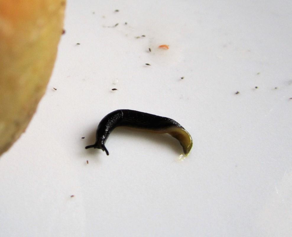 Foto/billede af Sortsidesnegl (Arion distinctus)