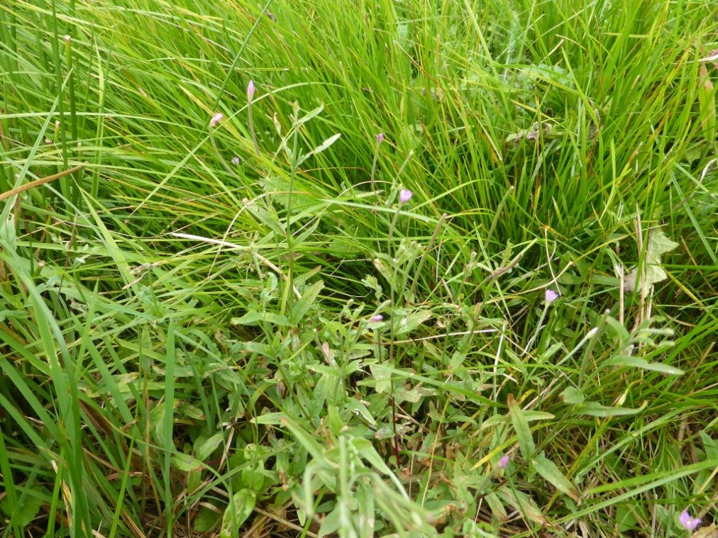 Foto/billede af Ris-Dueurt (Epilobium obscurum)