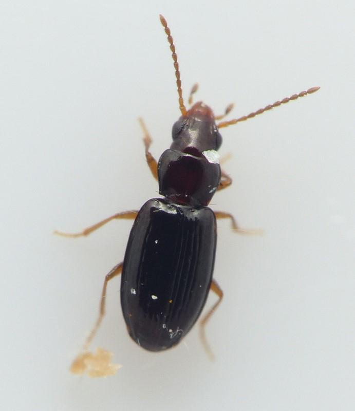 Elaphropus parvulus (Elaphropus parvulus)