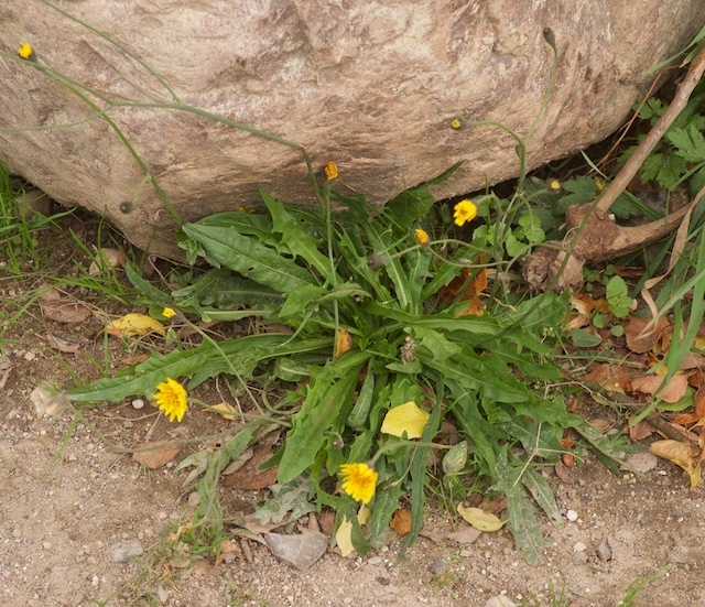 Høst-Borst (Leontodon autumnalis)