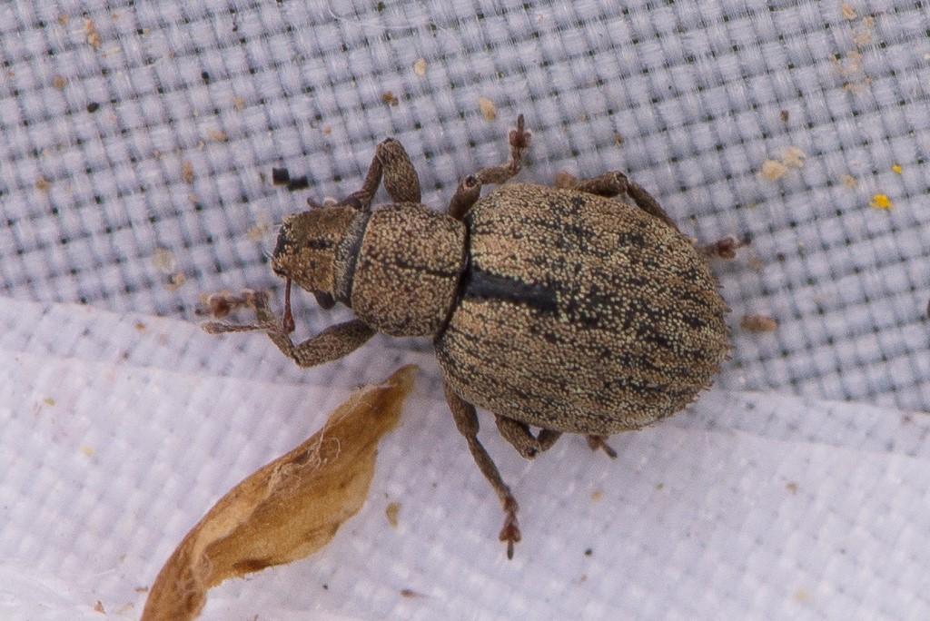 Foto/billede af Stribet Gråsnude (Strophosoma melanogrammum)