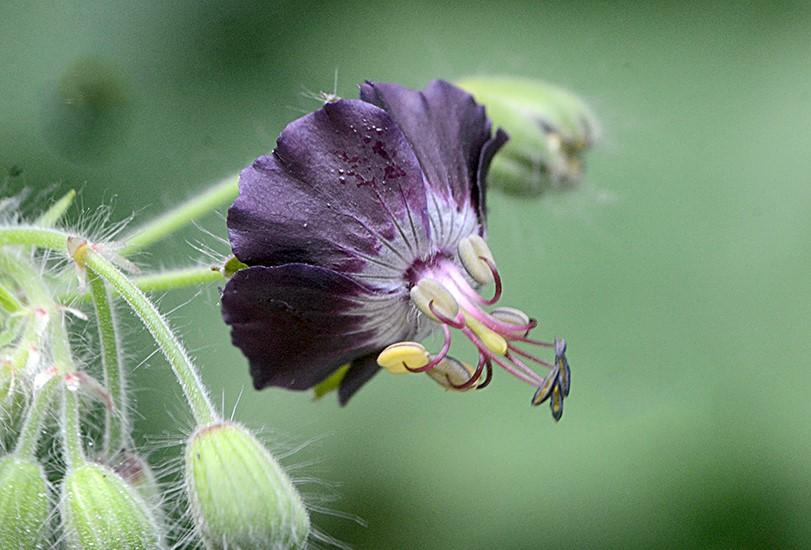 Foto/billede af Bølgekronet Storkenæb (Geranium phaeum)