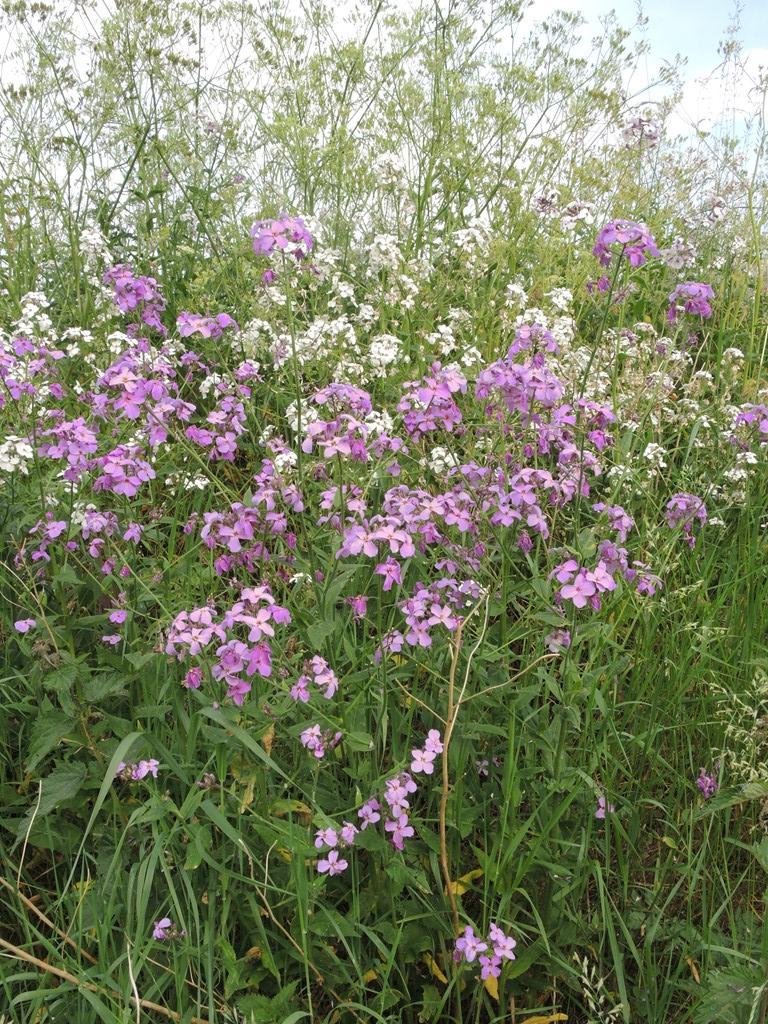 Vellugtende Aftenstjerne (Hesperis matronalis)