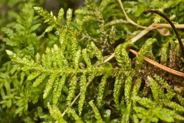 Foto/billede af Hulbladet Fedtmos (Pseudoscleropodium purum)