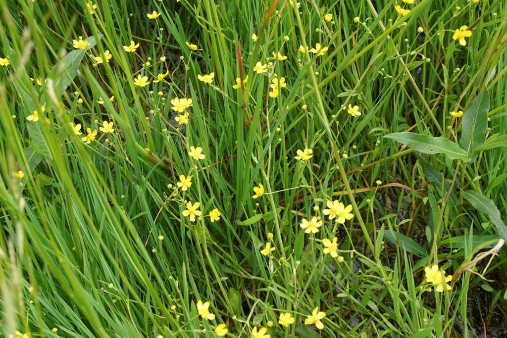 Kær-Ranunkel (Ranunculus flammula)