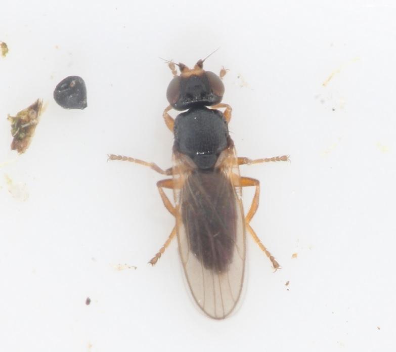 Fritfluer ubest. (Chloropidae indet.)